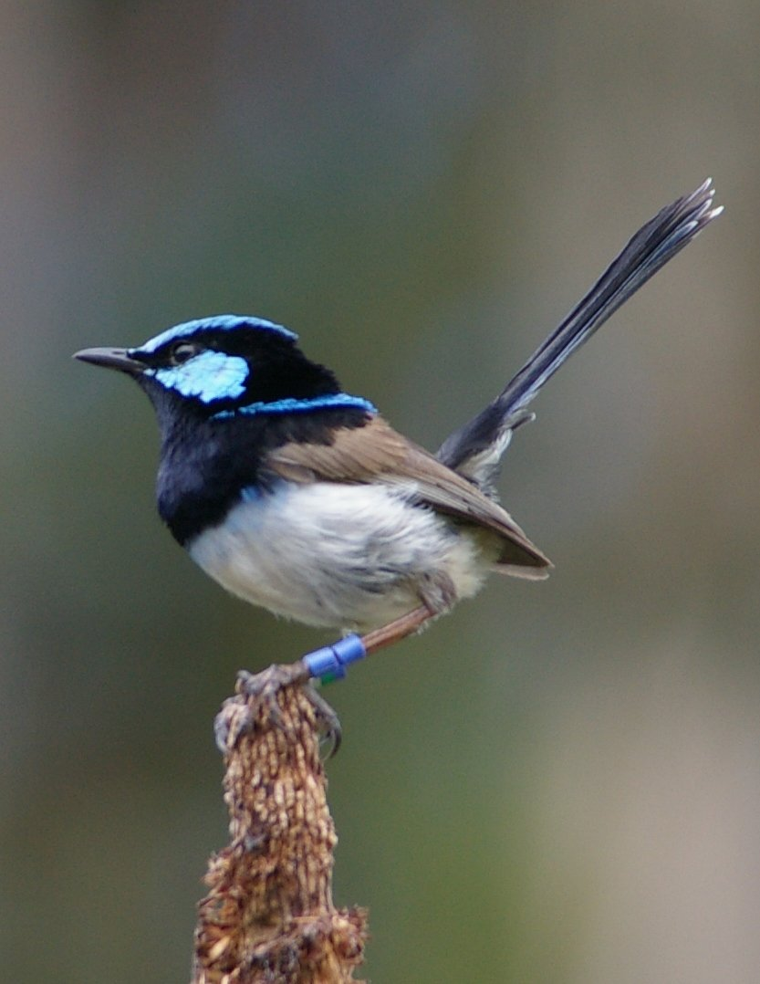 FairyWren_photo-Parks-Australia - Copy