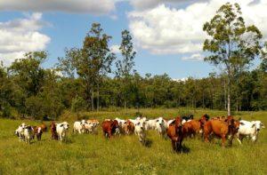 Cattle-Paddock