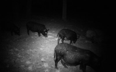 Economic survey – feral pigs economic cost to horticultural and cropping industries