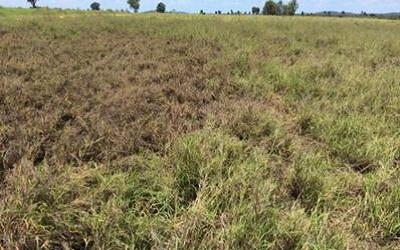 Pasture dieback in Queensland