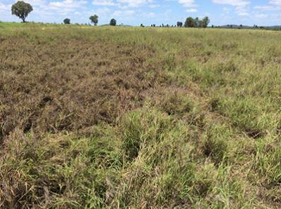 Pasture dieback in Queensland