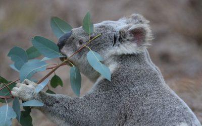 The Burnett Koala Program